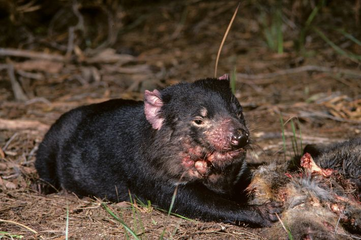 Um diabo-da-tasmânia com cancro facial, ao lado de uma carcaça na Tasmânia, na década de 1990.