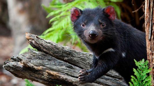 Cancro Terrível que Afeta os Diabos-da-tasmânia Pode Estar a Diminuir