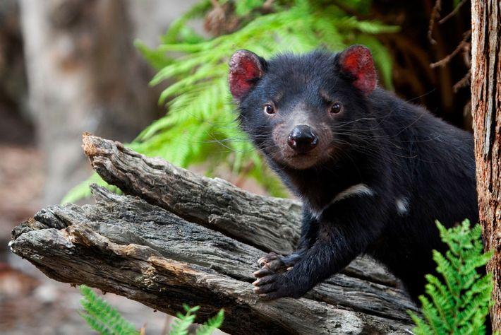 Um diabo-da-tasmânia em cativeiro posa num tronco no Santuário de Animais Selvagens de Algo, na Tasmânia, ...