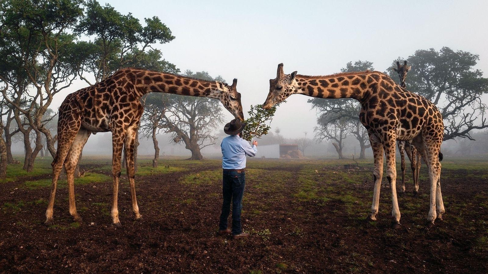 Brian Gilroy, proprietário da empresa de animais exóticos Wildlife Partners, alimentava girafas em Mountain Home, no ...