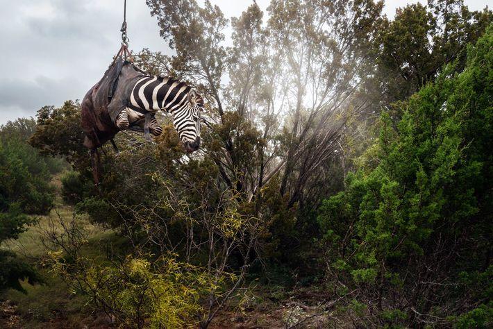 Uma zebra sedada é transportada de helicóptero no rancho Sexy Whitetails, perto de San Angelo. A ...