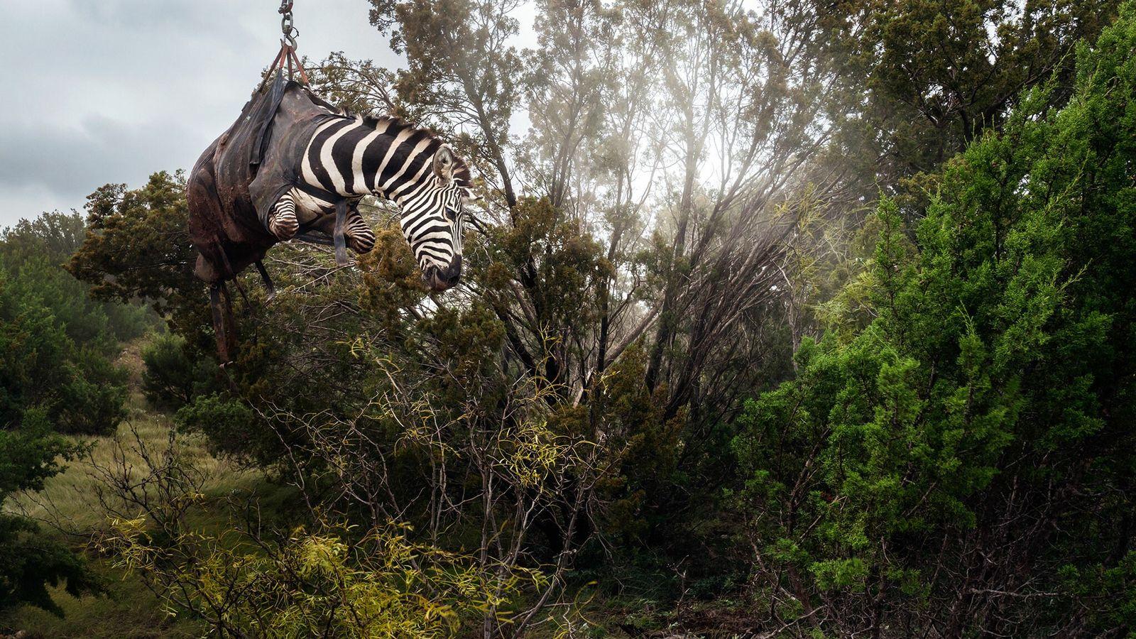 Uma zebra sedada é içada por helicóptero num rancho do Texas chamado Sexy Whitetails, perto de ...