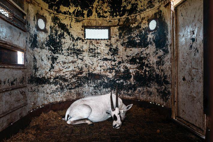 Um órix-da-arábia, sedado num atrelado no Rancho 777 no Texas, aguarda transporte para outra instalação. Extintos ...