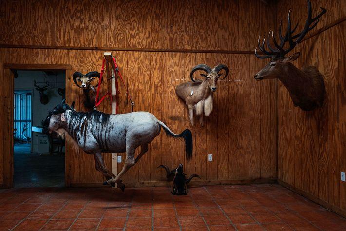 Um gnu (frente), dois carneiros Ovis orientalis arkal (na parede) e um troféu de alce aguardam ...
