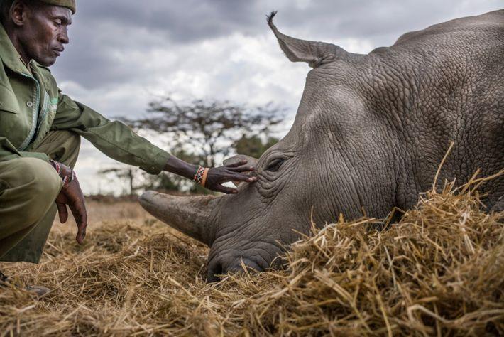Peter Esegon, de 47 anos, é um dos principais cuidadores de rinocerontes da OI Pejeta.