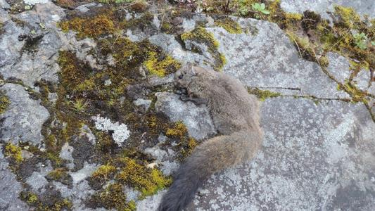 Duas novas espécies de esquilo-voador descobertas nos Himalaias