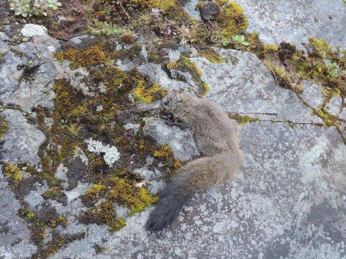 esquilo-voador-lanoso