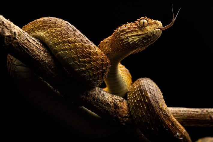 Abanando a sua língua, uma víbora-das-árvores fareja as redondezas. Estas cobras venenosas matam anualmente cerca de ...