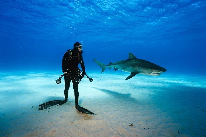 Conseguirá Brian Skerry Confundir um Tubarão com Réplica de Foca?