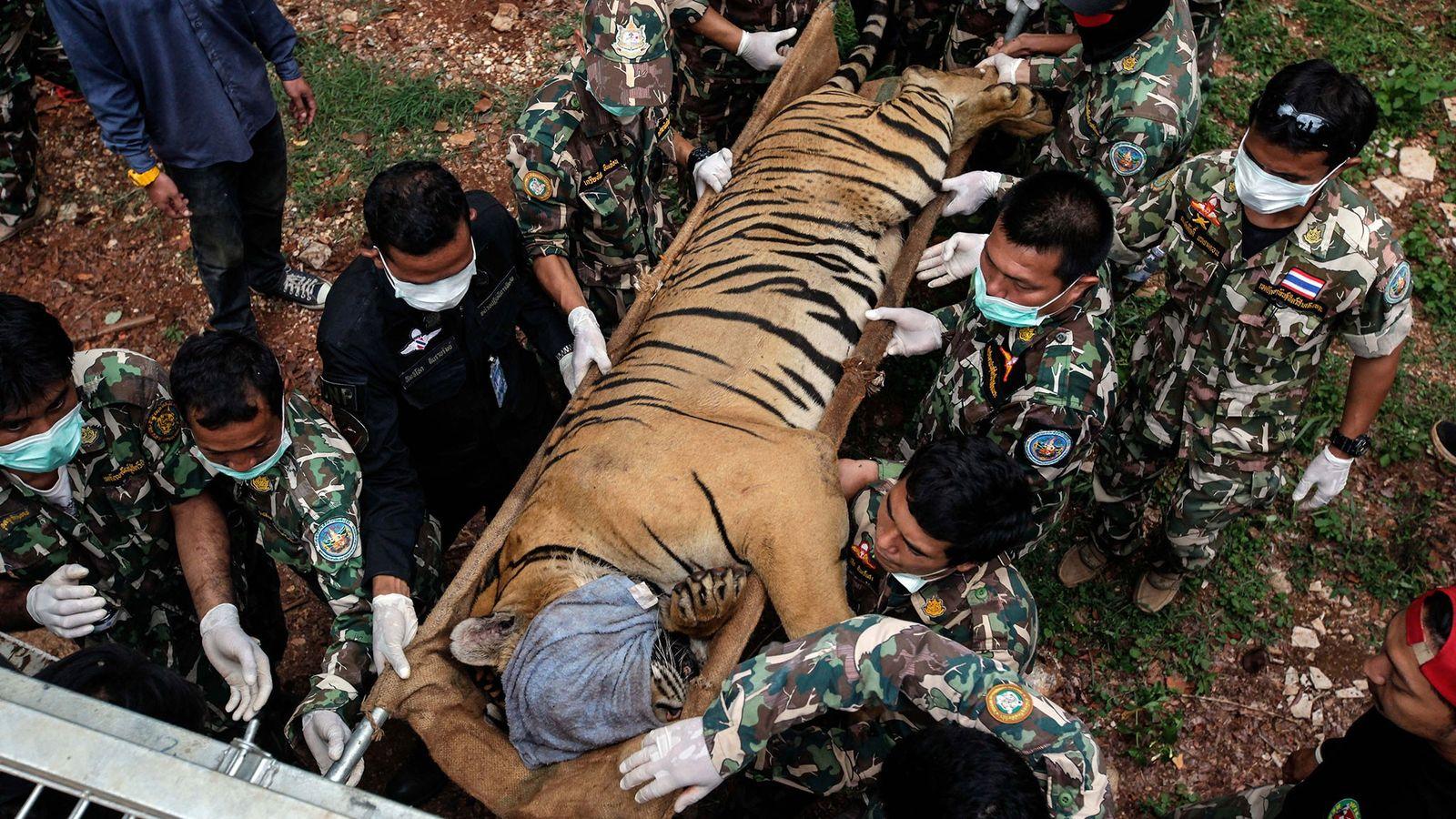 Em 2016, foram apreendidos 147 tigres numa operação do governo tailandês, no Templo do Tigre, na ...