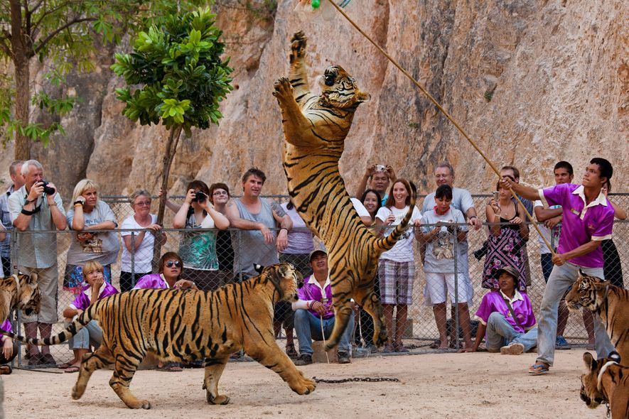 Nas infames instalações, os tigres eram um enorme atrativo turístico para os visitantes que queriam tirar ...