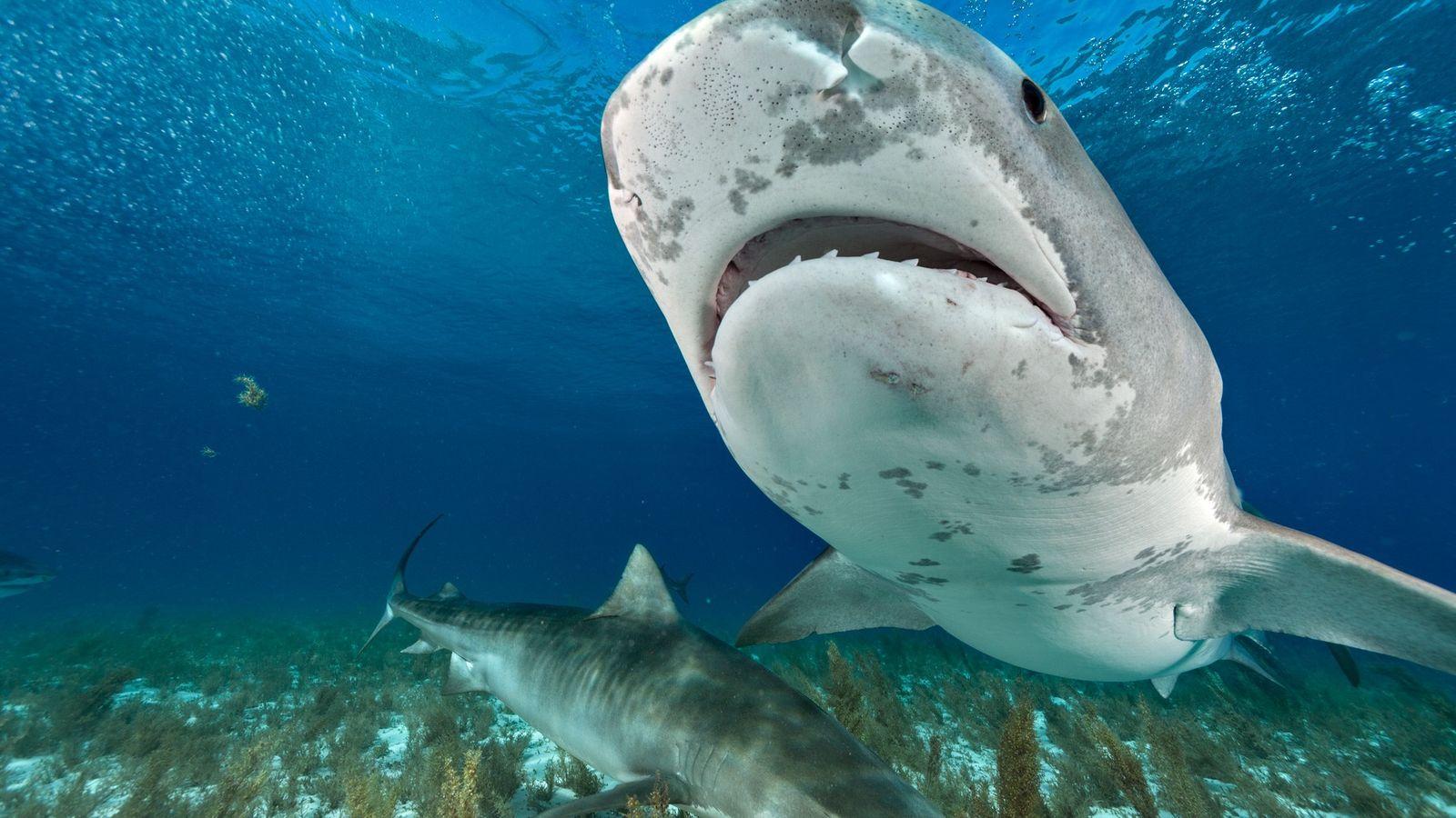 Tubarões-tigre nas Bahamas