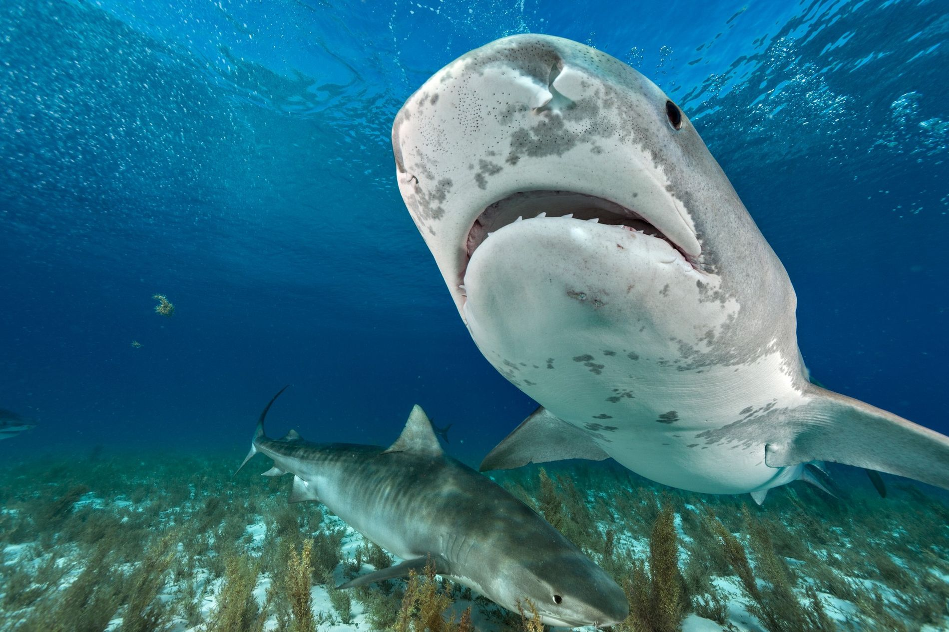 Tubarões-tigre rondam as águas da zona norte das Bahamas