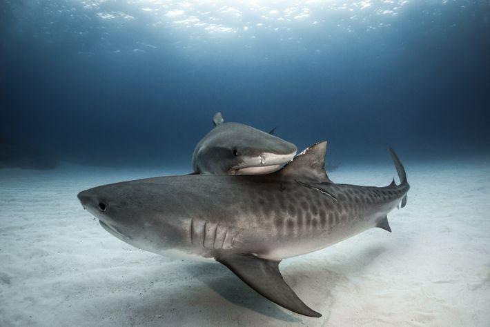 Dois tubarões-touro interagem perto de Grand Bahama. Esta espécie possui um sistema social complexo.