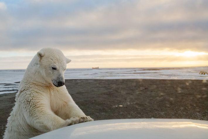 Um urso-polar verifica um carro, perto de Kaktovik, no Alasca. O desaparecimento do gelo marinho está ...