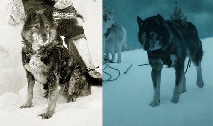 O verdadeiro Togo (esquerda) vive na linhagem dos huskies siberianos de Seppala – os proprietários geralmente ...