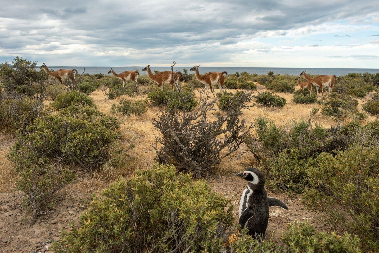 Um pinguim-de-Magalhães parece pouco incomodado com uma manada de guanacos na reserva de Punta Tombo, na ...