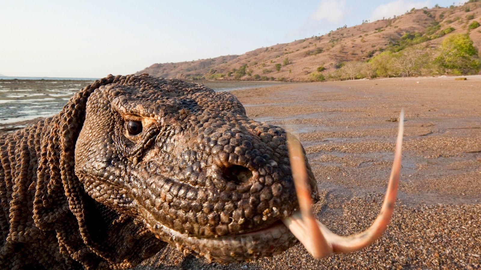 Os dragões-de-komodo, que podem crescer até aos três metros de comprimento e pesar mais de 150 quilos, ...
