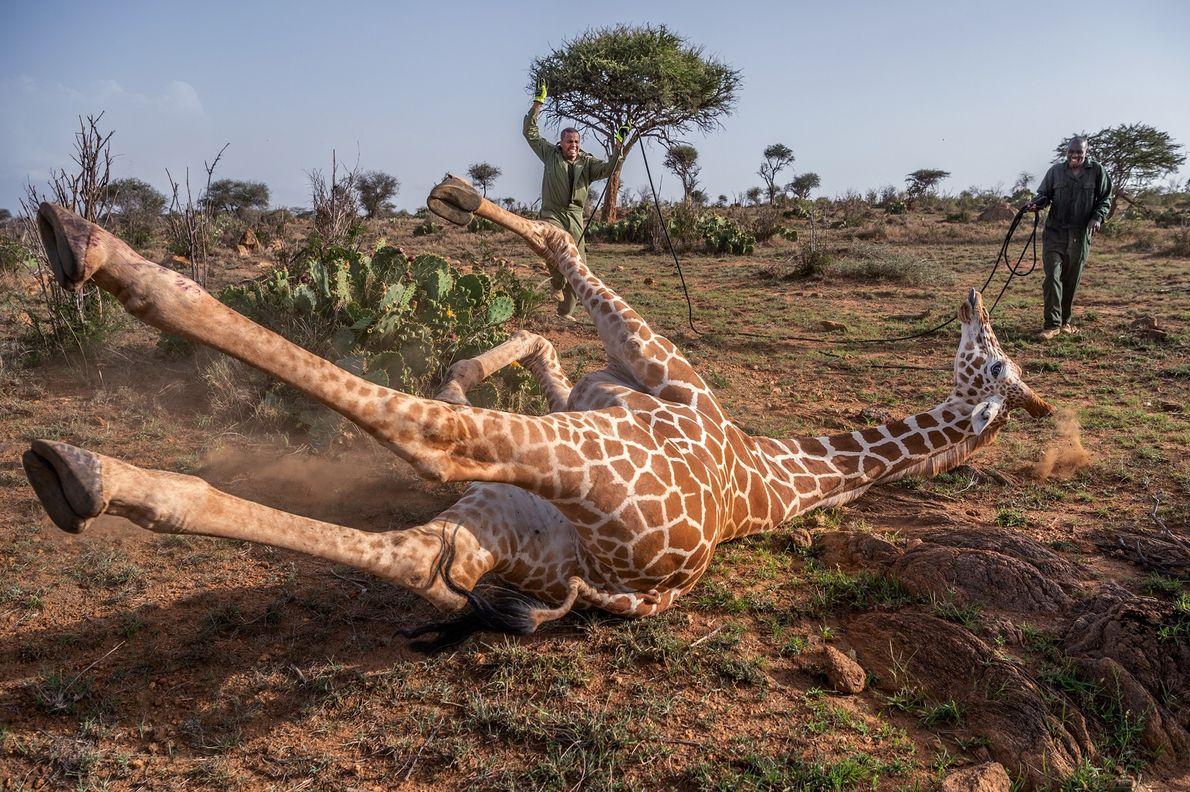 No Quénia, na Reserva de Vida Selvagem de Loisaba, especialistas em vida selvagem abordam uma girafa ...
