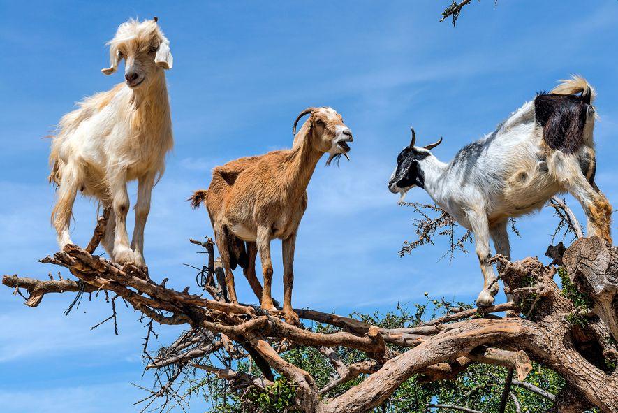 Veja Estas Cabras Bizarras Que Trepam Árvores em Ação.