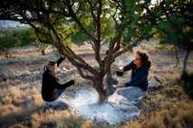 Em Quios, na Grécia, Vassilis Ballas e a sua esposa, Roula Boura, extraem resina de uma ...