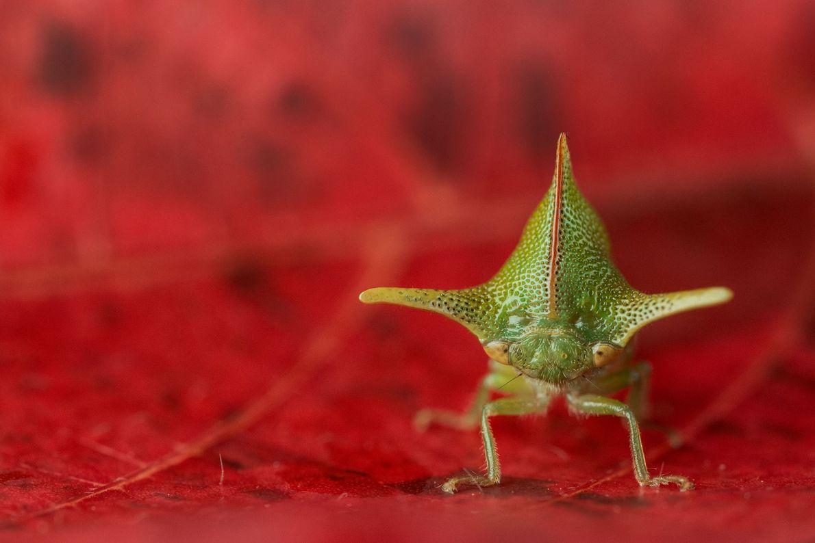 A espécie 'Alchisme grossa' tem farpas semelhantes a espinhos para dissuadir os seus pretensos predadores. Este ...