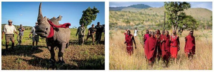 Esquerda: Um rinoceronte-branco-do-sul transferido da África do Sul, de uma região onde impera a caça furtiva, ...