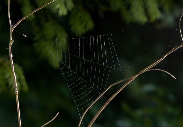 Uma aranha de teias triangulares, do género Hyptiotes, aguarda as suas vitimas numa teia acabada de ...
