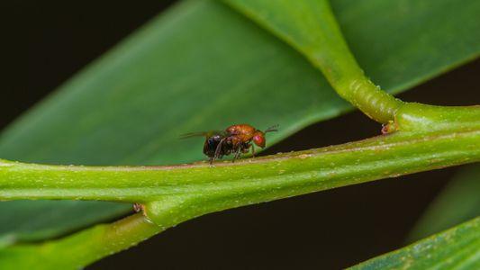 Inseto da austrália torna-se agente de biocontrolo contra planta invasora em Portugal