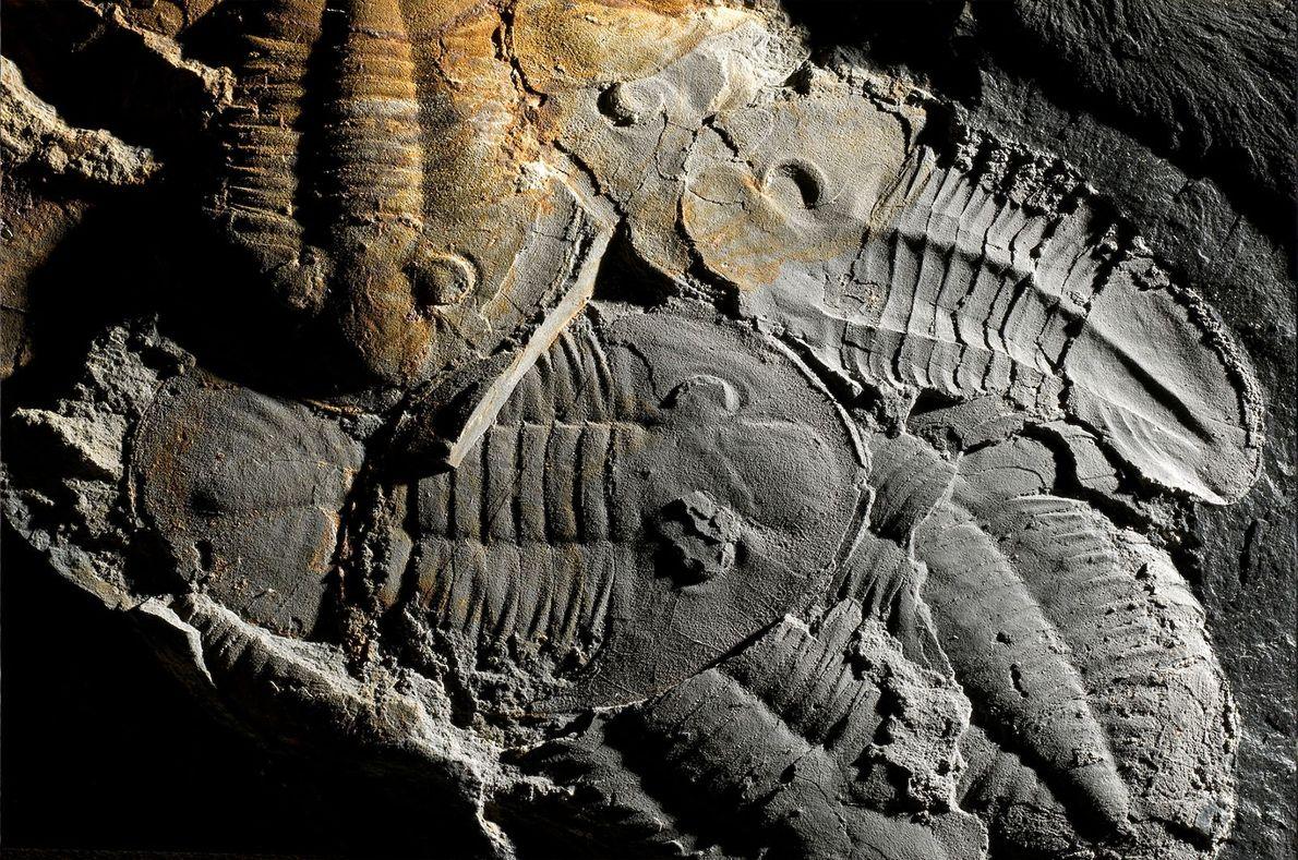 Trilobites Asaphellus Toledanus (GIL, 1976)