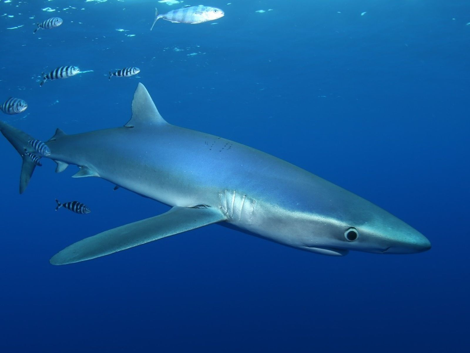 Com barbatanas peitorais longas e um corpo esguio, o tubarão-azul faz lembrar um planador.