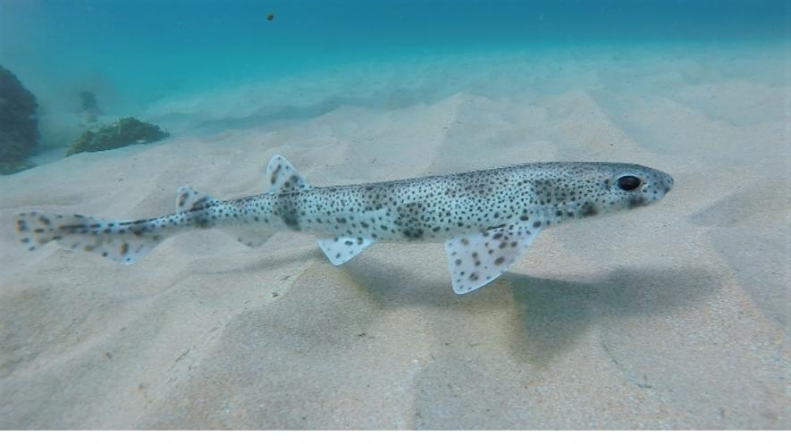 Um pata-roxa (Scyliorhinus canicula) nada junto ao fundo arenoso. As manchas características ajudam-no a confundir-se com ...