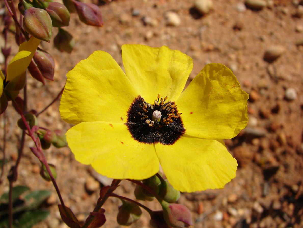 alcar-do-algarve (Tuberaria globulariifolia var. major)