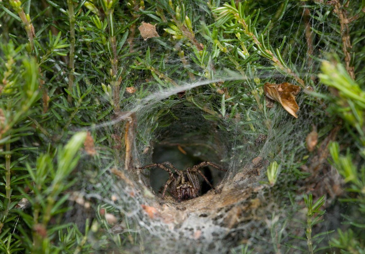 Uma Agelena labyrinthica à espera da presa na sua teia afunilada, no Reino Unido.
