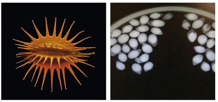 Esquerda: Uma digitalização colorida de uma semente de cenoura selvagem. Os investigadores da expedição encontraram uma ...