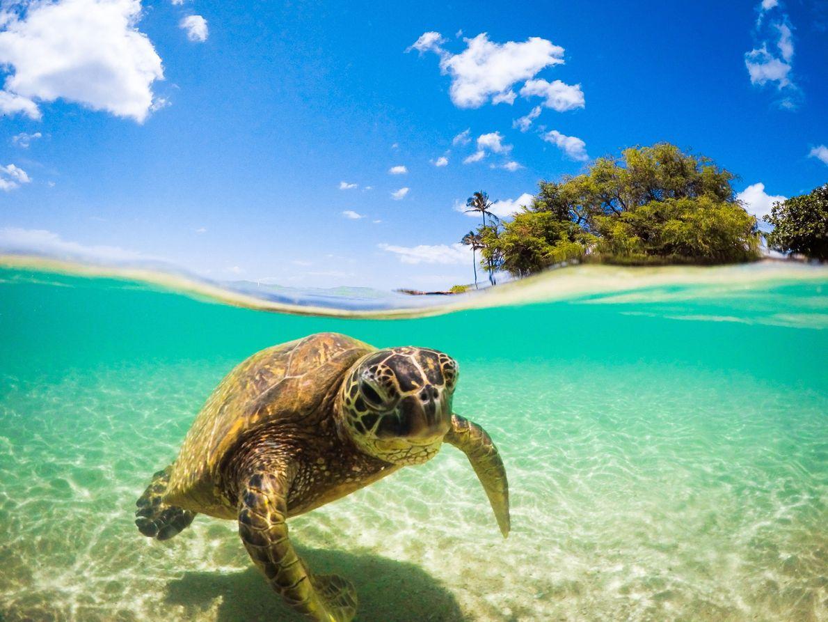 tartaruga costa de Oahu