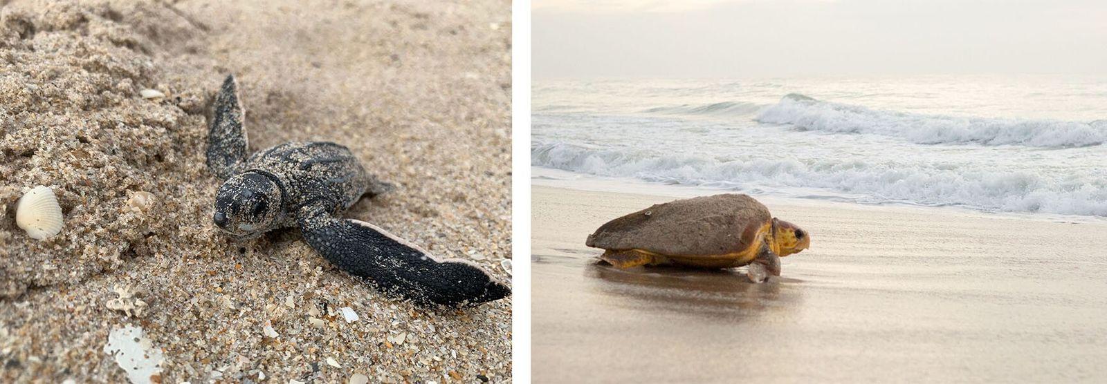 Esquerda: Na Flórida, uma cria de tartaruga-de-couro observa o mundo pela primeira vez. Os ovos de ...