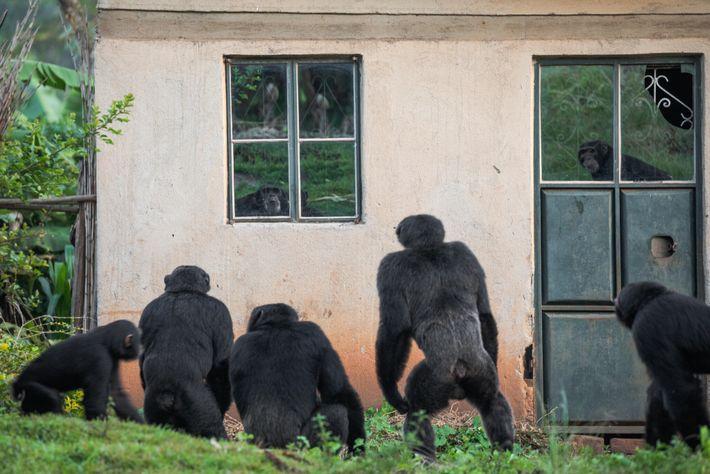 No oeste do Uganda, em torno de algumas aldeias, pequenos grupos de chimpanzés sobrevivem nas poucas ...
