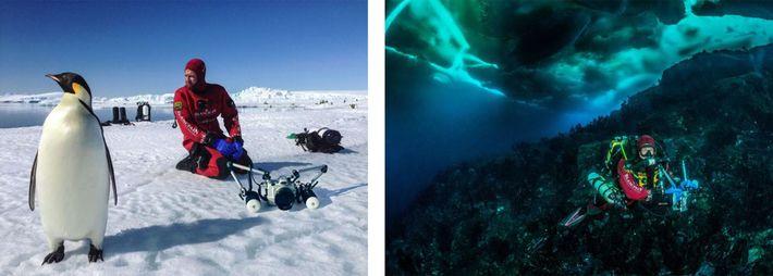 Esquerda: Um pinguim-imperador acompanha os fotógrafos em cima do gelo. O acampamento do dia estava num ...