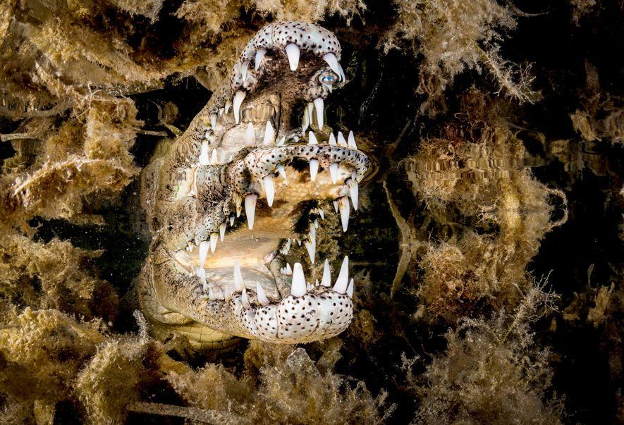 Para captar o reflexo deste crocodilo-americano, Gross aproximou-se lentamente do animal ao longo de duas horas, ...