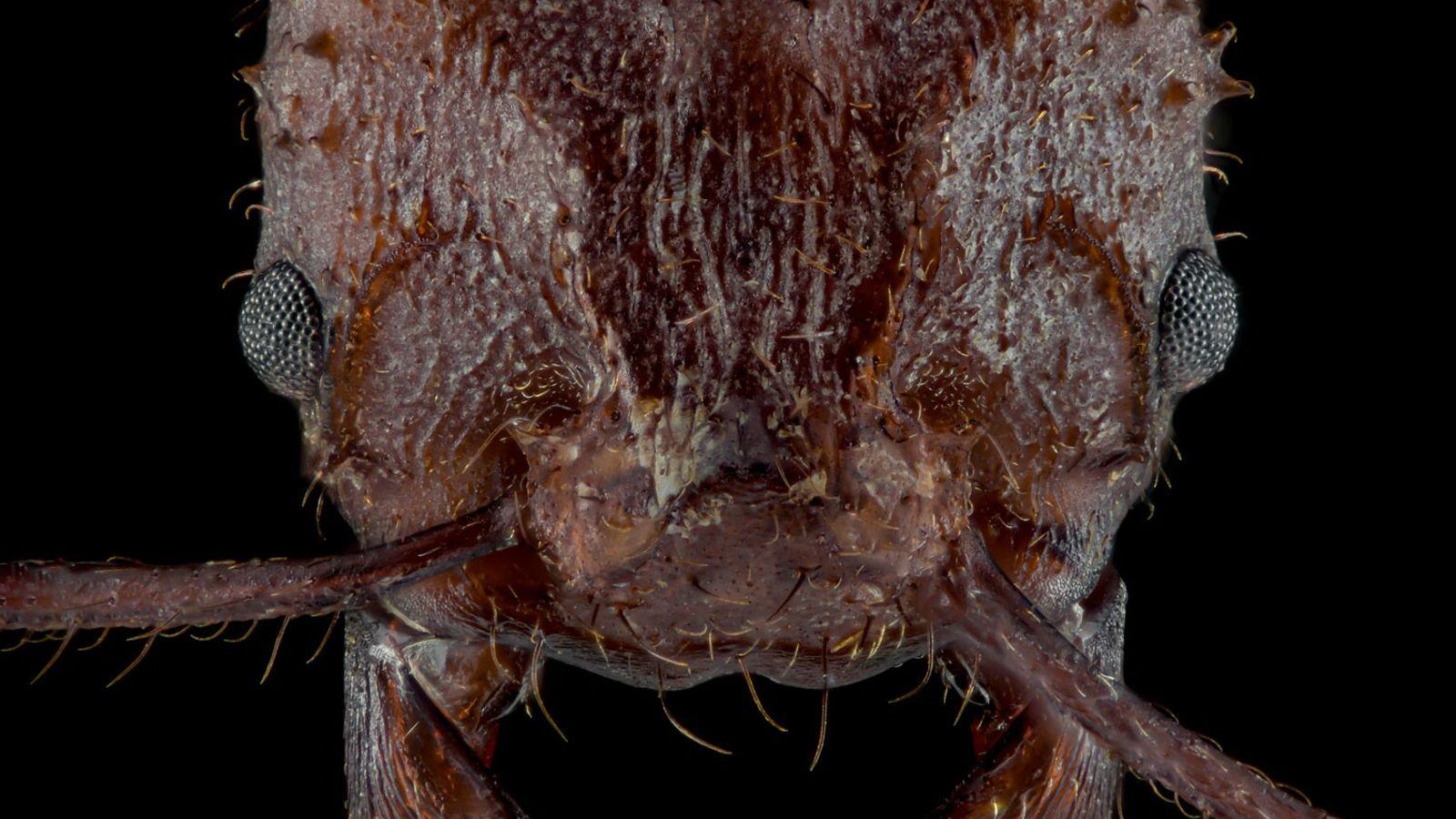 A formiga Acromyrmex echinatior, uma espécie que cultiva fungos, tem um tipo de revestimento biomineral recém-descoberto ...