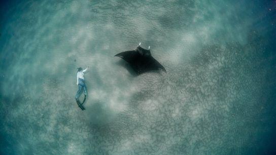 A investigadora Christina Coppenrath tira fotografias enquanto pratica mergulho livre ao lado de uma jovem raia-manta ...