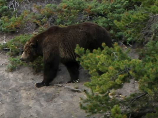Urso-pardo Ataca Presa