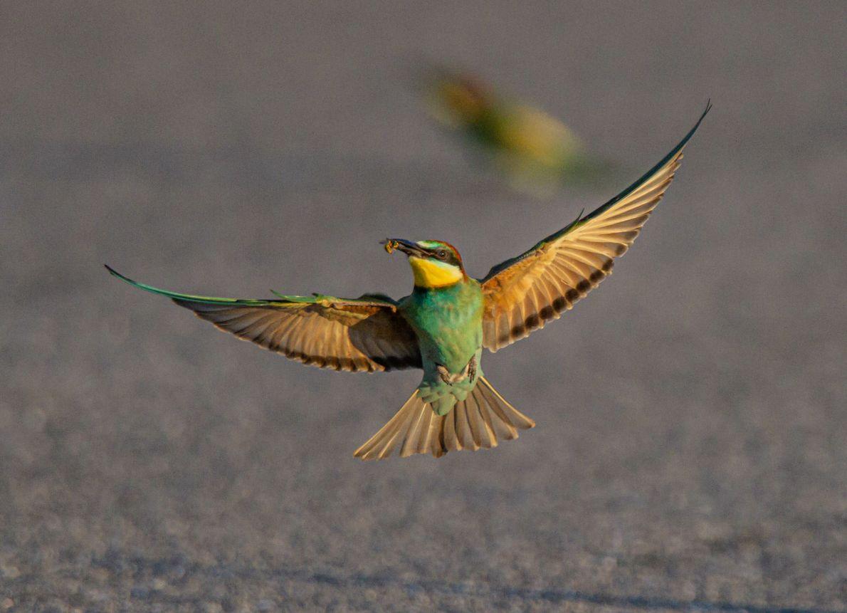 Abelharuco (Merops apiaster)