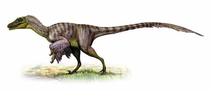 Pesando até 45 quilos – aproximadamente o tamanho de um lobo – os Velociraptores provavelmente caçavam ...