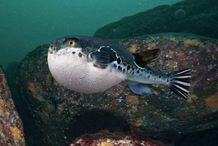 Este peixe-balão (Takifugu poecilonotus) consegue insuflar para se defender. Estes peixes, conhecidos por fugu, são uma ...