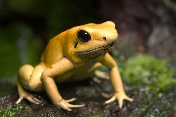 O sapo Phyllobates terribilis vai buscar as suas toxinas aos pequenos besouros presentes na sua dieta.