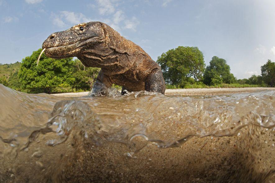 Depois de morder uma vítima, o dragão-de-komodo consegue segui-la ao longo de quilómetros – enquanto o ...