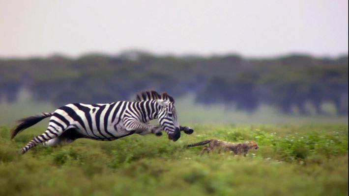 Será que Esta Chita Irá Sobreviver à Fúria da Zebra?