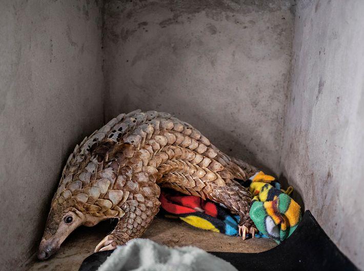 Os pangolins, os mamíferos não humanos mais traficados do mundo, receberam proteção adicional ao abrigo da ...